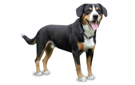 Entlebucher Mountain Dog Breed Information, Pictures, Characteristics & Facts - DogTime