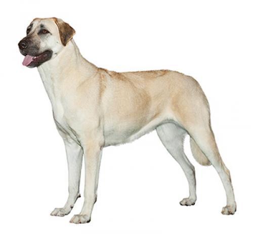 Información sobre la raza de perro Pastor de Anatolia   Purina ®