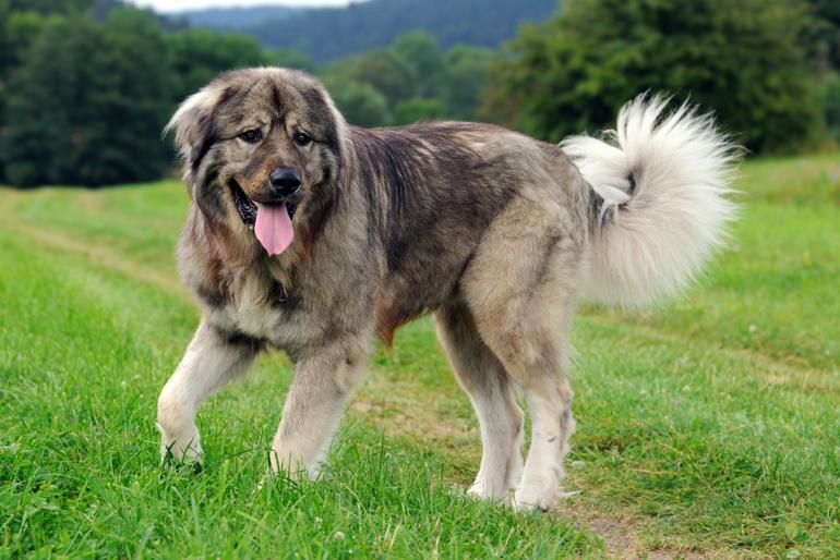 ▷🐶 Pastor del Cáucaso 🐶 Que debes saber de esta Raza de Perro 🟢