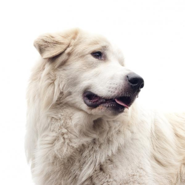 Perro de montaña de los Pirineos: características y fotos