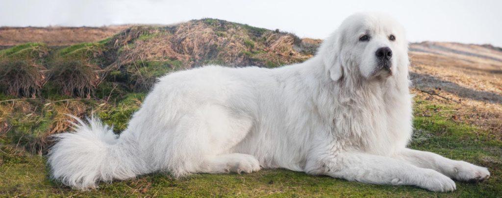 Perro de pastor polaco de Podhale – TopperCan