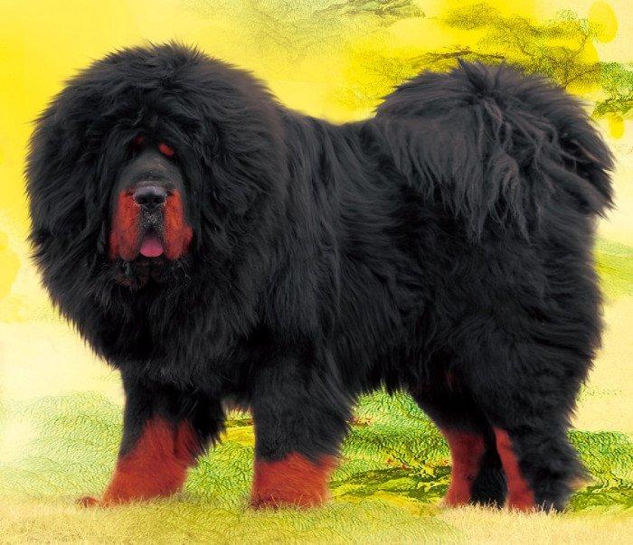 Te lo contamos TODO sobre la majestuosa Raza de Perro Dogo del Tíbet