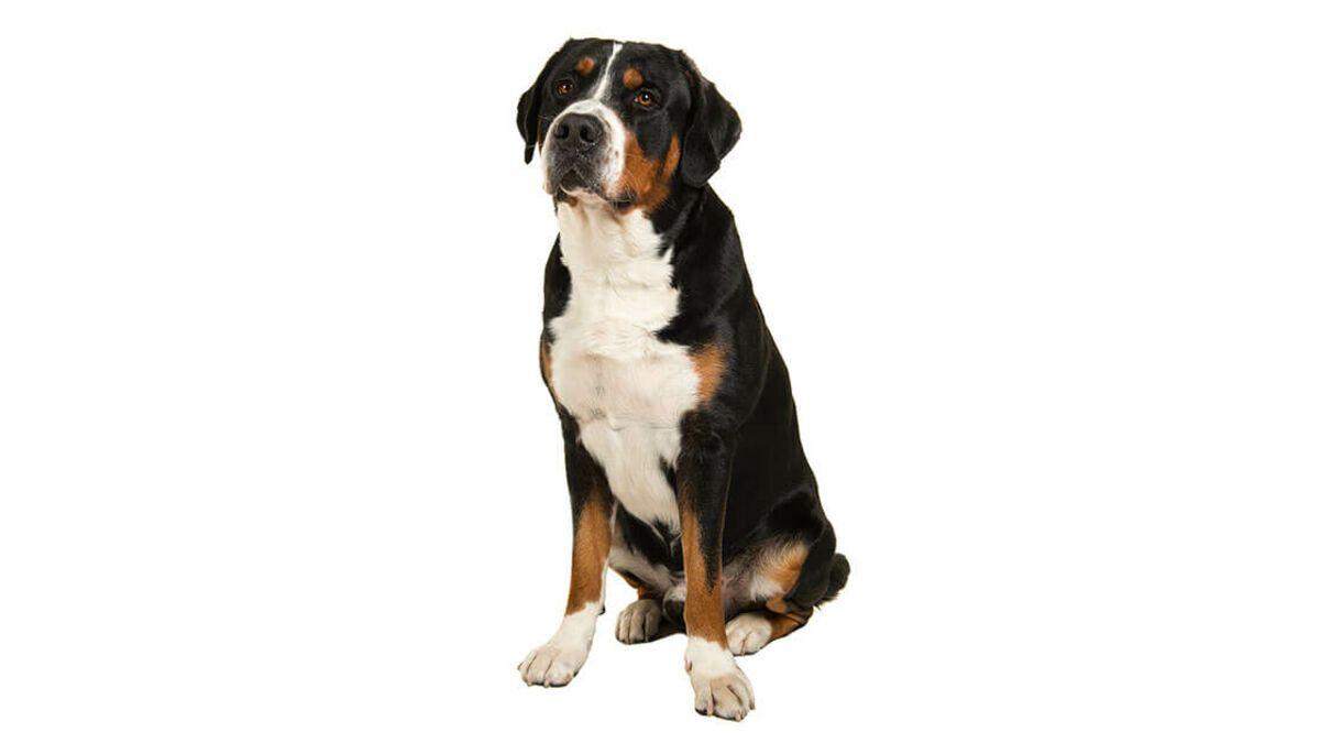 ▷🐶 Gran Boyero Suizo 🐶 Todo lo que debes saber de esta Raza de Perro 🟢