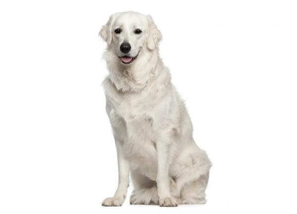 ▷🐶 Kuvasz 🐶 Que debes saber de esta Raza de Perro 🟢