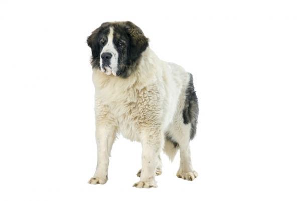 ▷🐶 Mastín del Pirineo 🐶 Que debes saber de esta Raza de Perro 🟢
