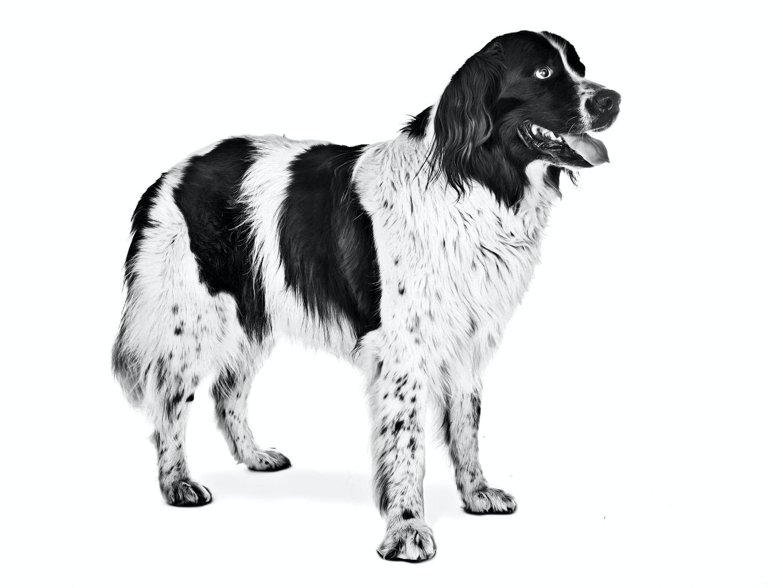 ▷🐶 Landseer 🐶 Que debes saber de esta Raza de Perro 🟢