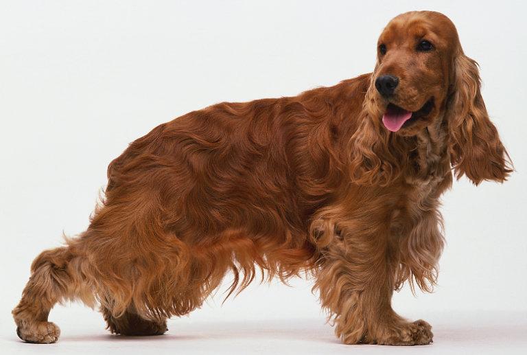 ▷🐶 Cocker Spaniels Ingles 🐶 Que debes saber de esta Raza de Perro 🟢