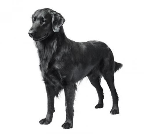 Información sobre la raza de perro Retriever de pelo liso | Purina ®
