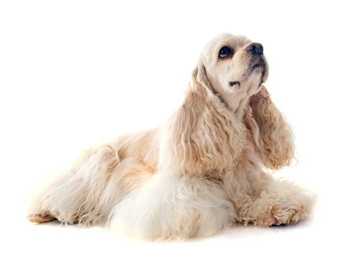 ▷🐶 Cocker Spaniels Americano🐶 Que debes saber de esta Raza de Perro 🟢