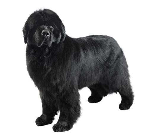 ▷🐶 Terranova 🐶 Que debes saber de esta Raza de Perro 🟢