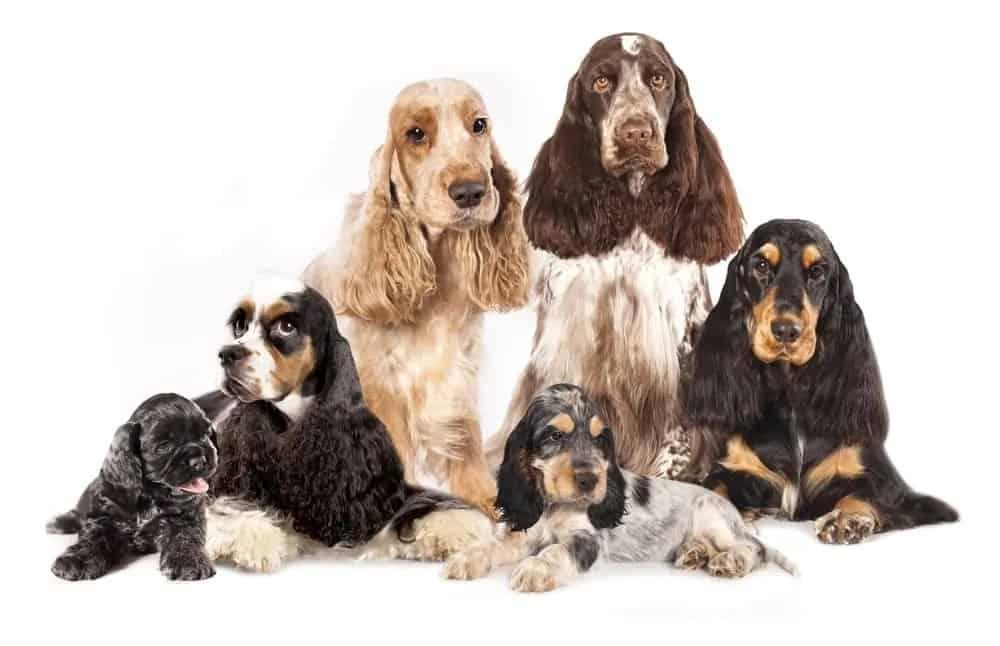 ▷🐶 Spaniels 🐶 Que debes saber de esta Raza de Perro 🟢
