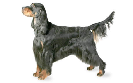 Gordon Setter Dog Breed Information, Pictures, Characteristics & Facts - Dogtime