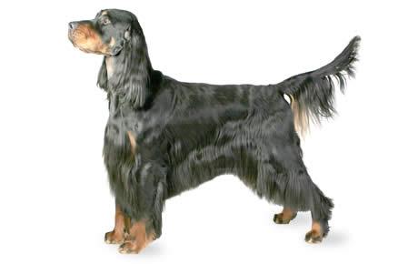 ▷🐶 Setters Gordon 🐶 Que debes saber de esta Raza de Perro 🟢
