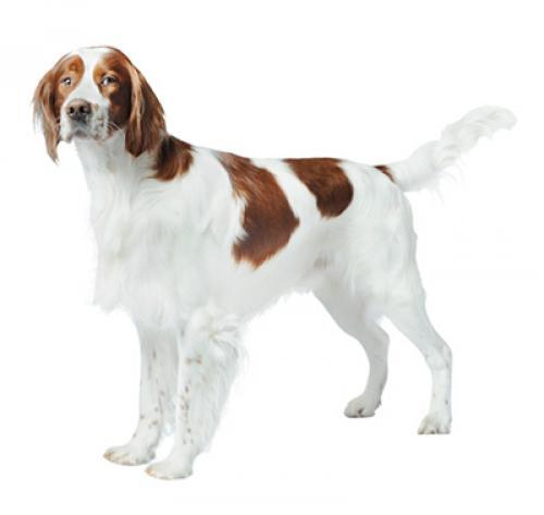 Información sobre la raza de perro Setter irlandés rojo y blanco   Purina ®