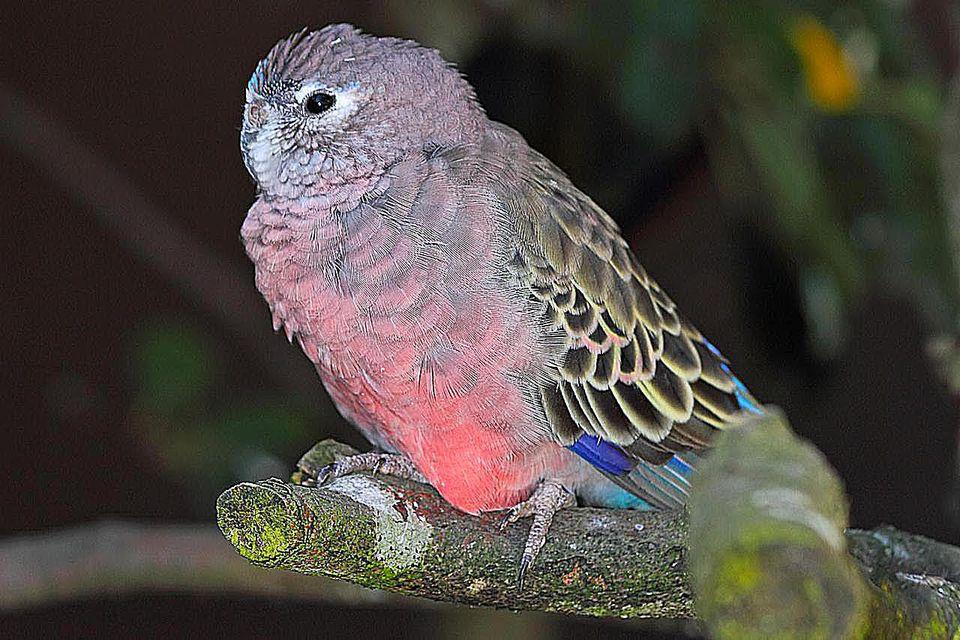 Periquito de Bourke   Aves Exóticas